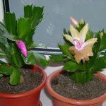 Цветы декабристы цветущие в горшках