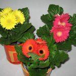 Разнообразные цветы гузмании в горшках