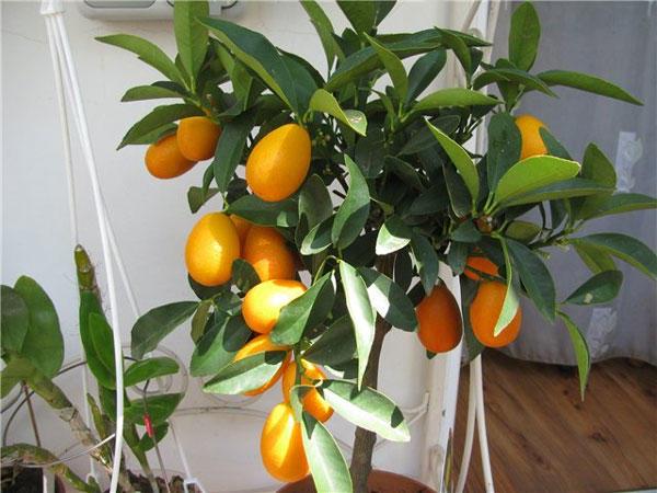 Домашнее экзотическое растение кумкват