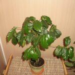 Растущее комнатное растение Арабика