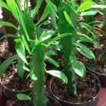 Молодое растение молочай в квартире