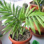 Маленькая пальма в квартире