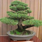 Домашнее дерево бонсай