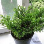 Комнатное растение Юниперус
