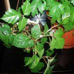Здоровое комнатное растение березка