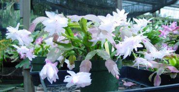 Белый цветущий декабрист в горшке