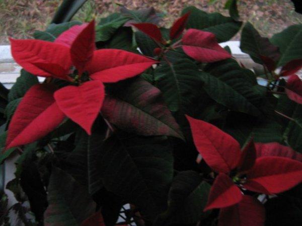 Рождественская звезда - выращивание в домашних условиях