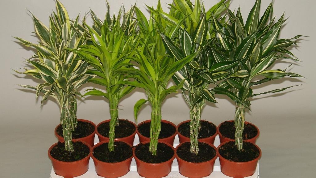 Размножение комнатного растения отростками в грунте
