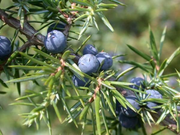 Плоды можжевельника на ветке