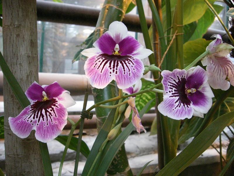 Разновидность орхидеи сорт Мильтония