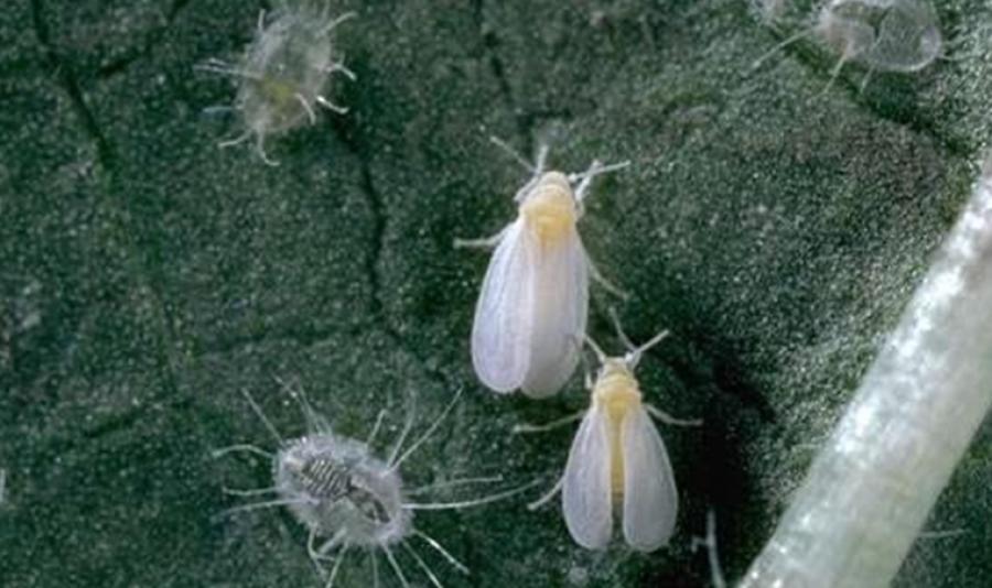 Табачная белокрылка на листьях растения