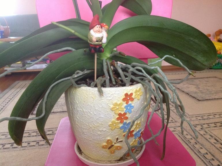 Воздушные корни у цветка орхидеи