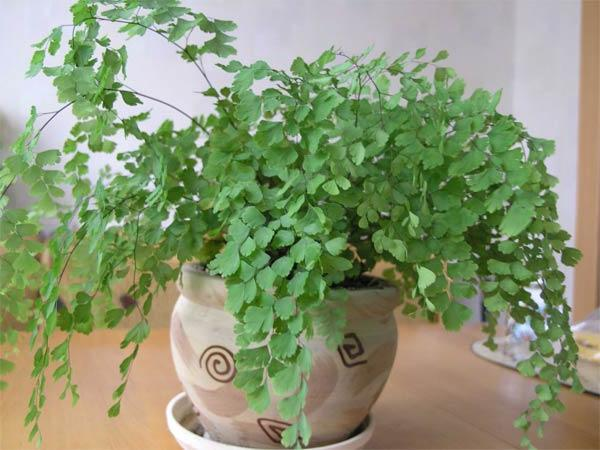 Выращивание Адиантума в домашних условиях