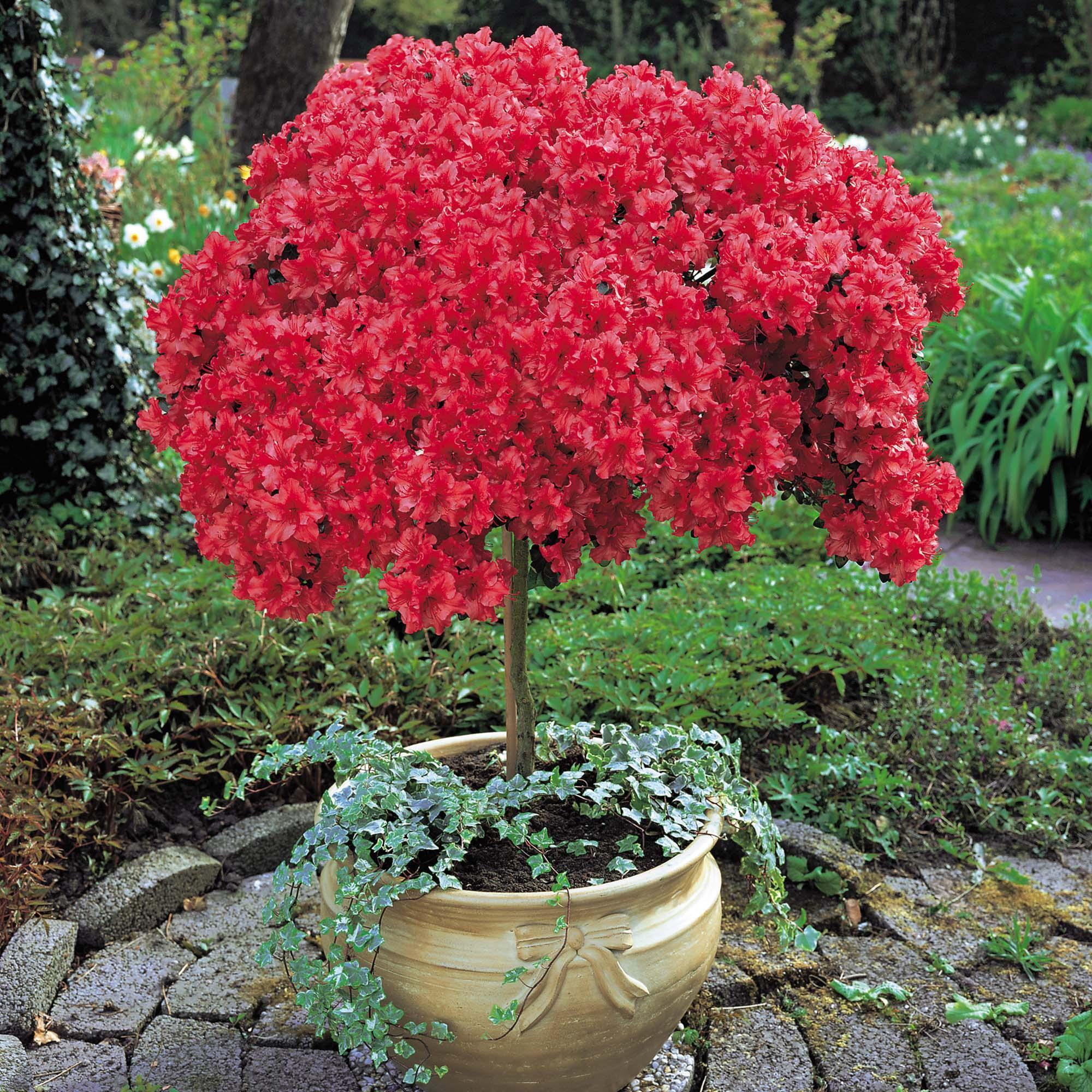 Азалия Рододендрон в большом вазоне
