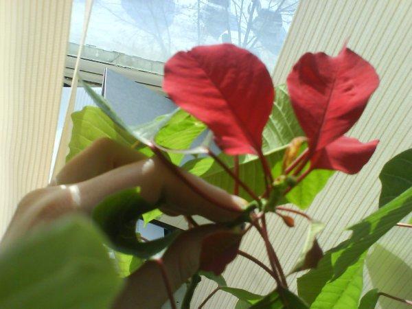 Подготовка к цветению пуасенттии