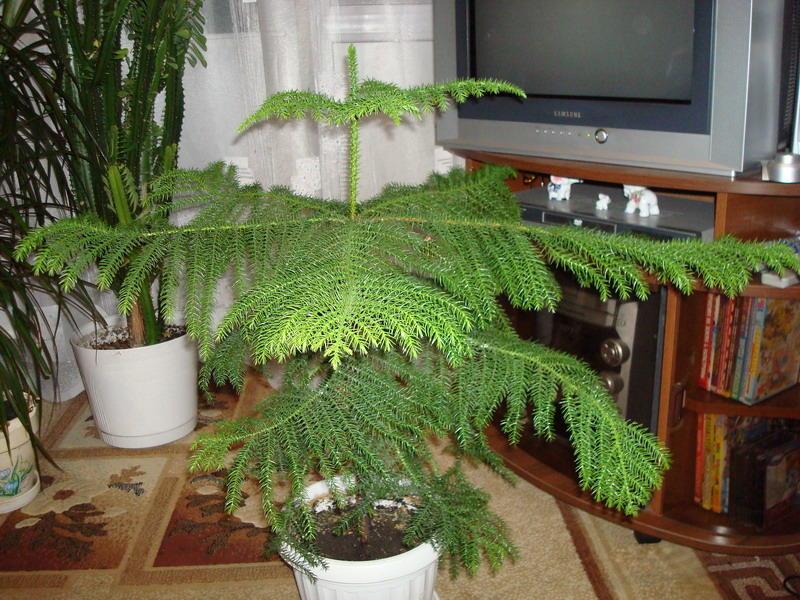 Комнатная ель - араукария