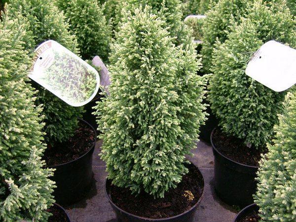 Хвойные комнатные растения для дома