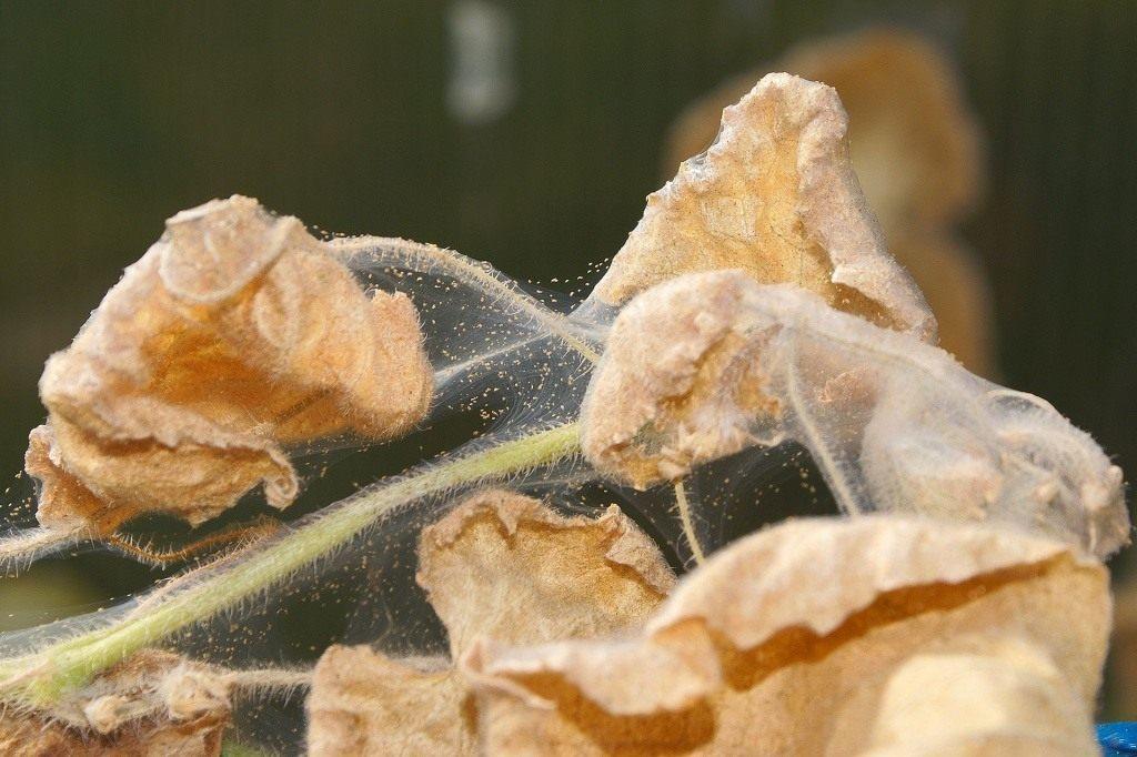 Поражение цветка вредителем