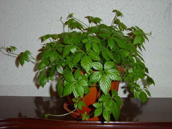 Выращивание комнатного циссуса в домашних условиях