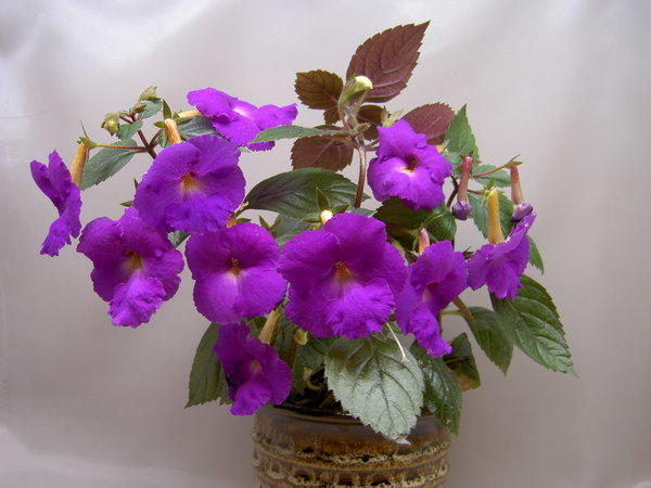 Домашнее цветущее растение Ахименес