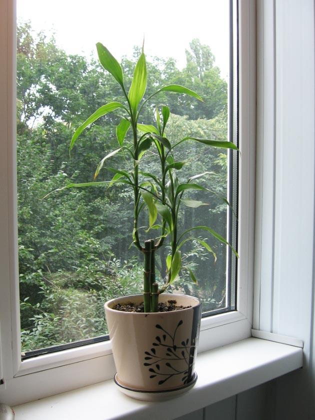 Комнатное растение бамбук на подоконнике