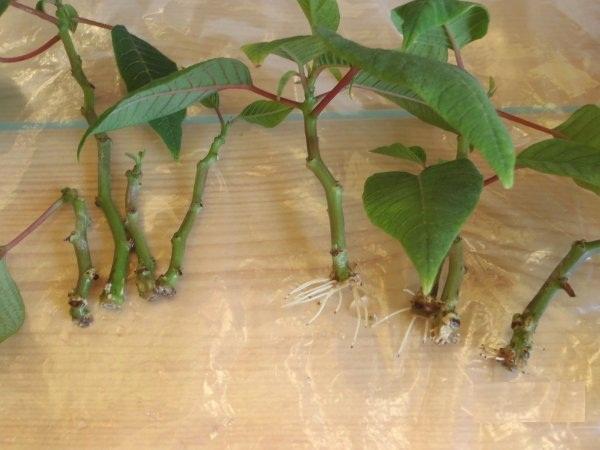 Размножение комнатного растения пуасенттии