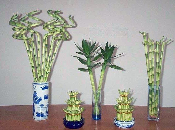 Выращивание драцены сандеры в домашних условиях