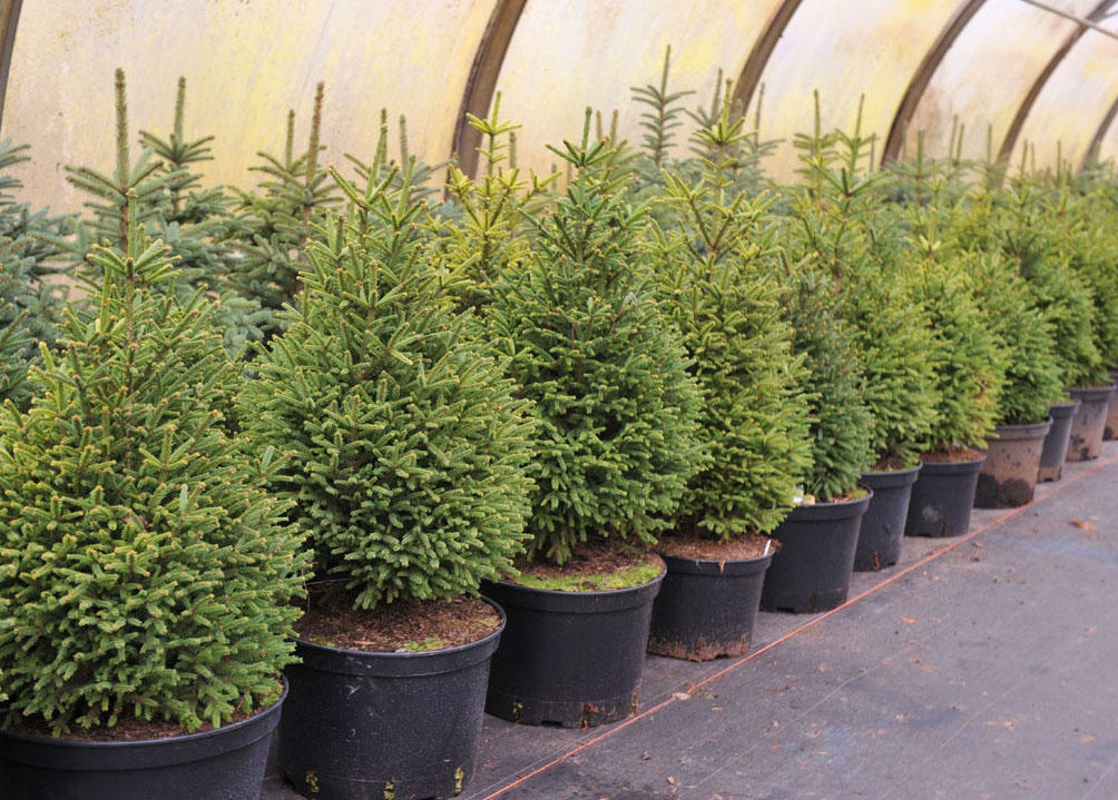 Выращивание и уход за домашними елками в горшках