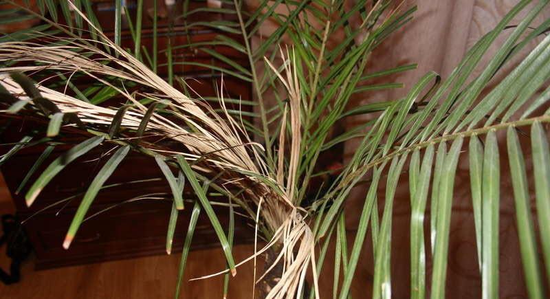 Засыхание листьев у финиковой пальмы