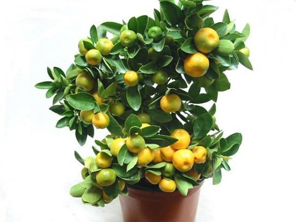 Комнатный мандарин - экзотическое растение