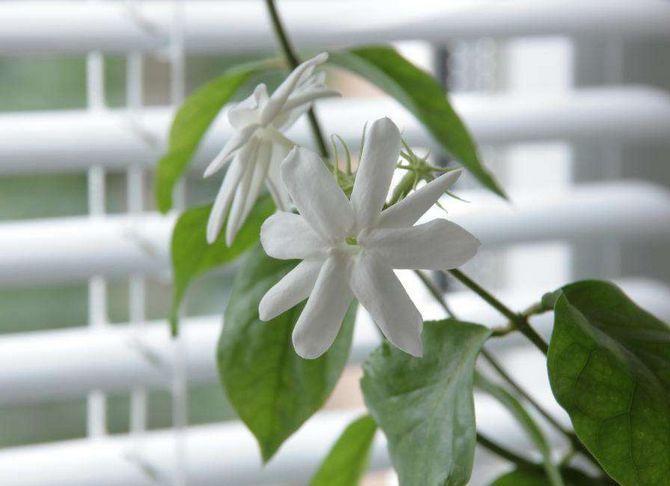 Комнатный жасмин - выращивание на подоконнике