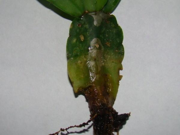 Гнилой корень цветка декабриста
