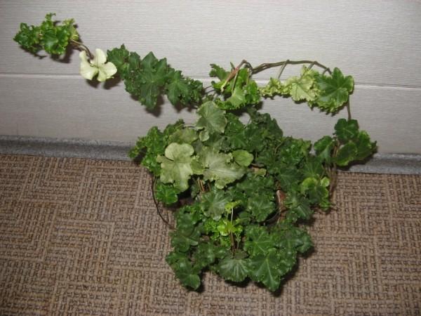 Комнатное растение плющ, или ходера