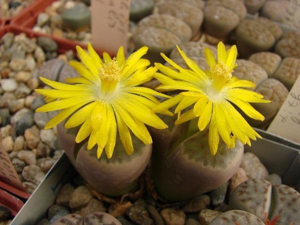 Литопсы - экзотические цветы в доме