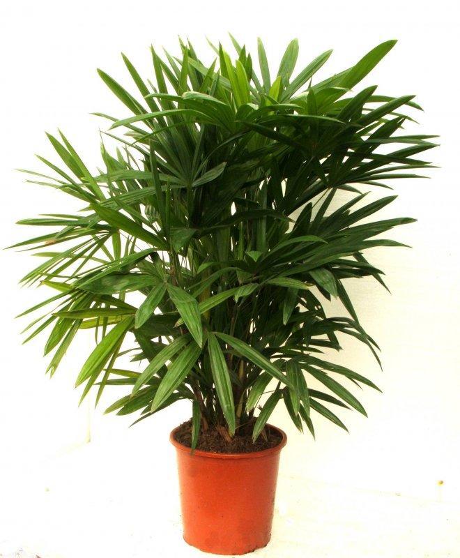 Домашнее растение пальма