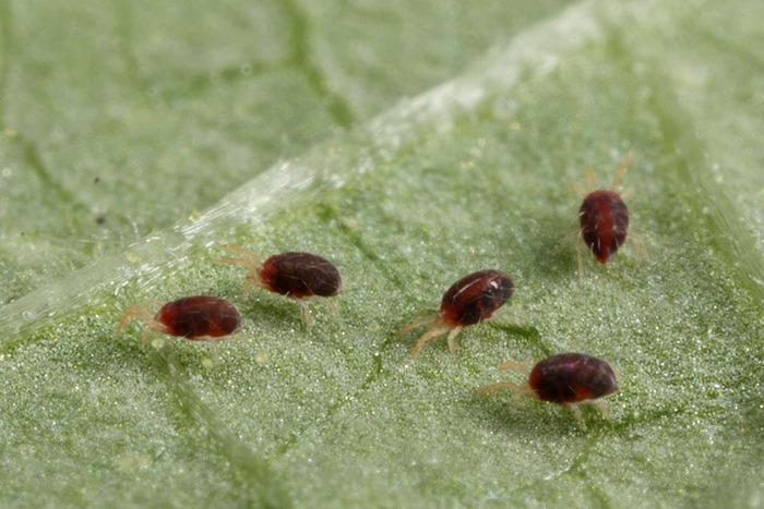 Размножение вредителей на листках растения