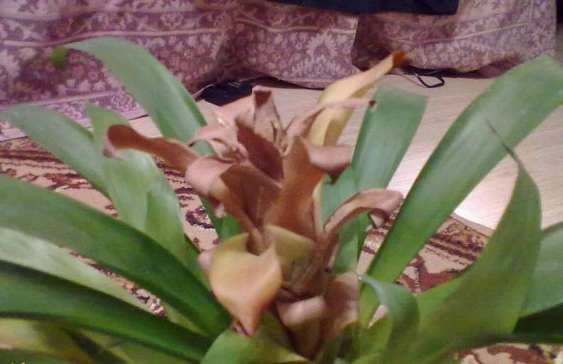 Цветок гузмания вянет и погибает
