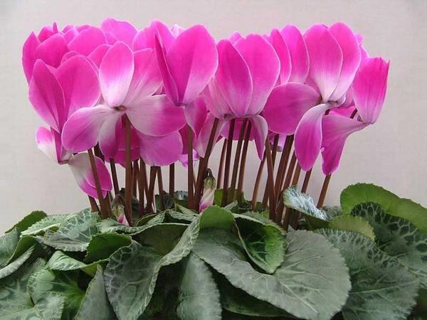 Цикламен персидский - небезопасное растение