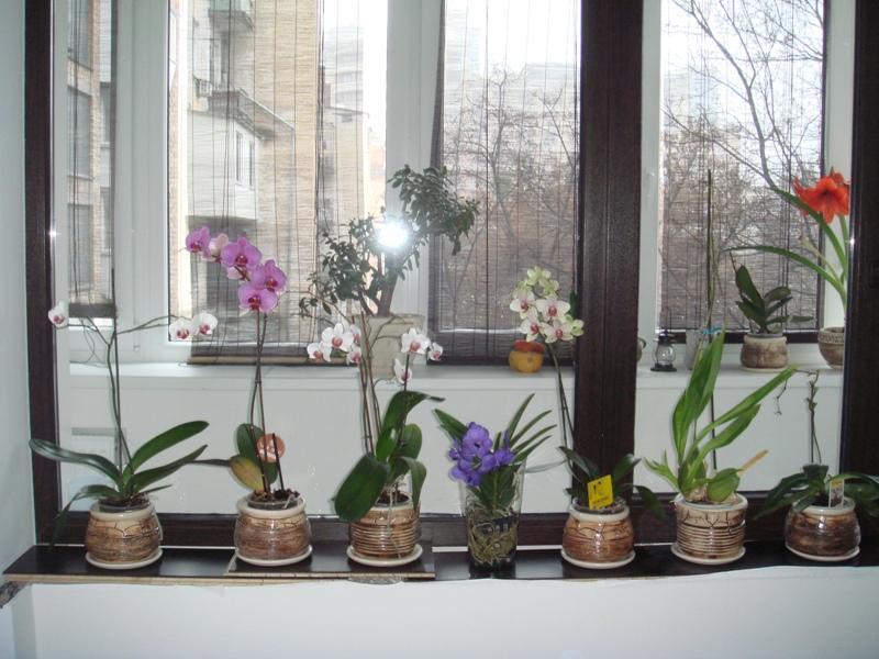 Много горшков с орхидеями на подоконнике