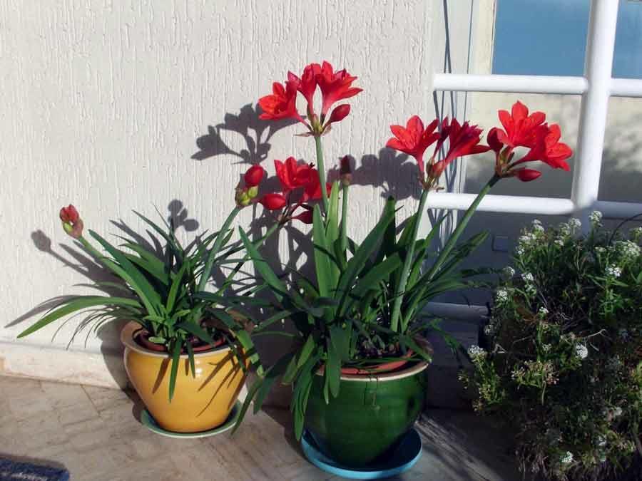 Комнатное луковичное растение Валлота