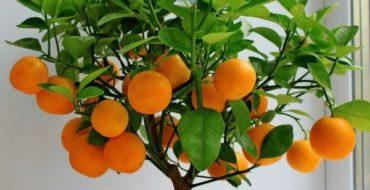 Апельсин можно выращивать дома