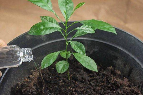 Чрезмерный полив может навредить растению