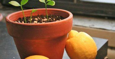 Цитрусовые можно выращивать дома