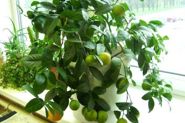 Цитрусовые способны украсить любой дом