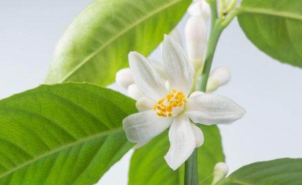 Домашние цитрусовые цветут спустя несколько лет