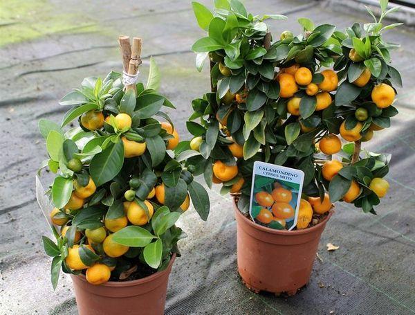 Каломондин - гибрид мандарина с кумкватом