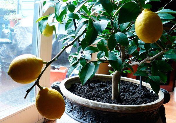 Лимон не любит ветвиться