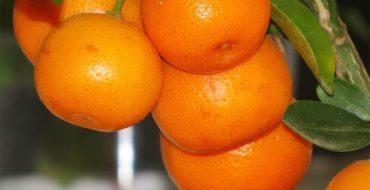 Цитрус каламондин – гибрид семейства рутовых