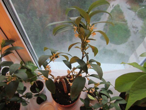 Растение нужно пересаживать раз в 2-3 года