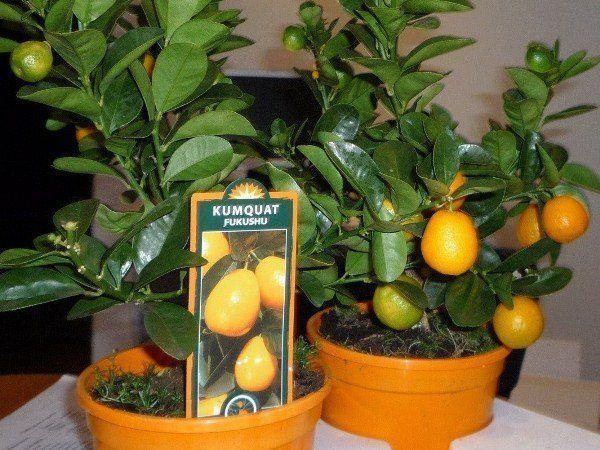 Для растения нужна почвенная смесь для цитрусовых